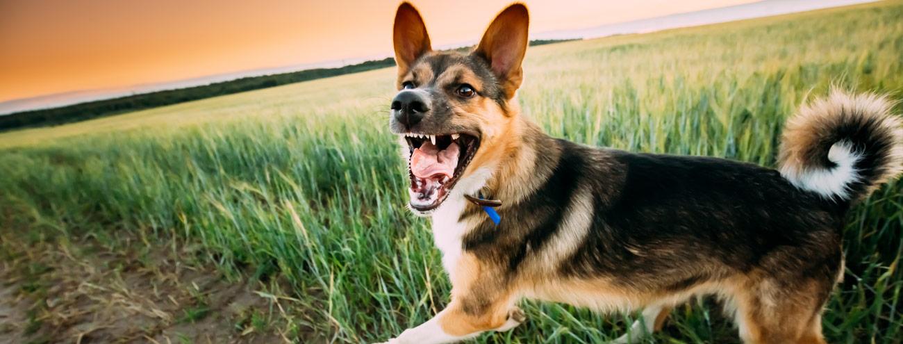 dog bite, dog attack